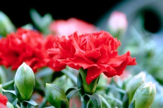 free-photo-hahanohi-carnation-red-green.jpg