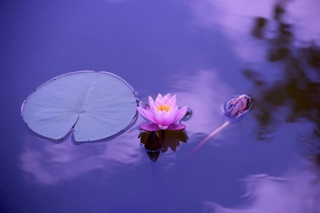 lotus-1205631_1280.jpg